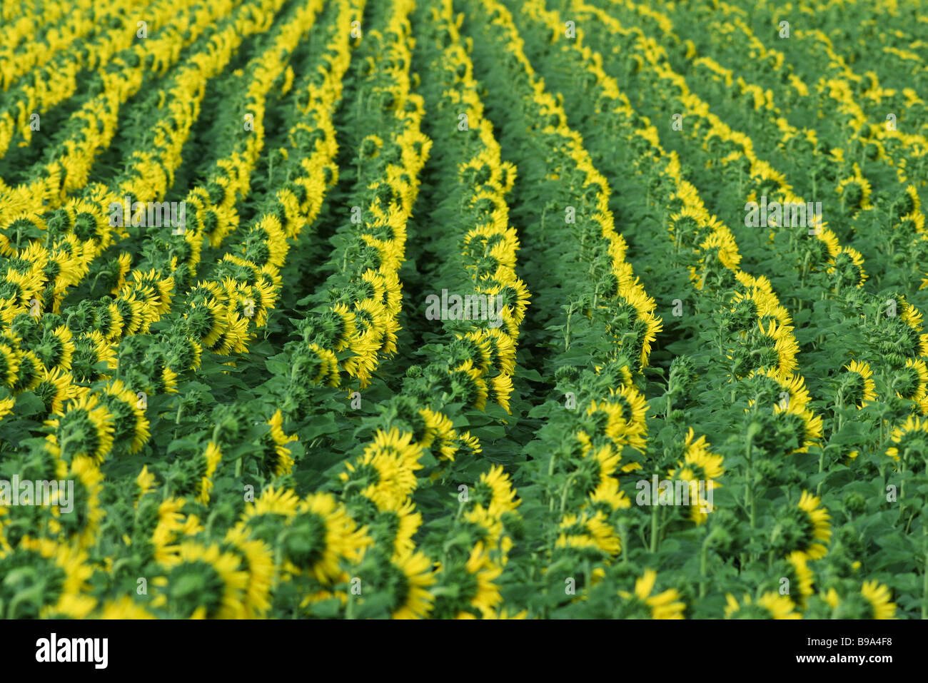 Sunflowers growing in field, full frame - Stock Image