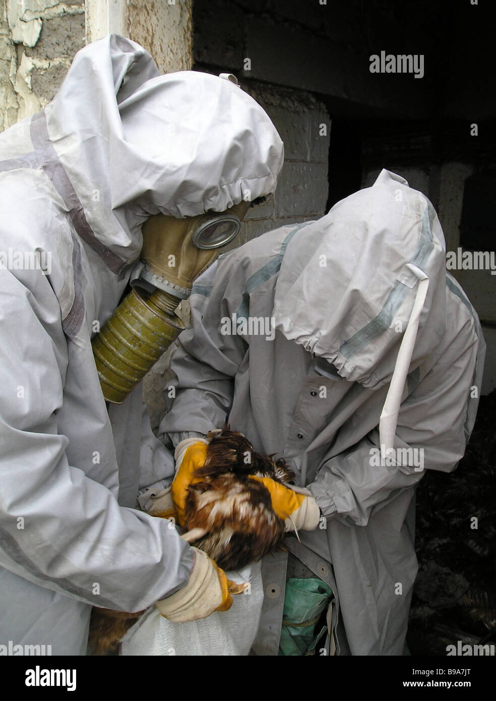Protective geared veterinarians exterminate chicken in a Dagestani poultry farm with the avian influenza epidemic - Stock Image