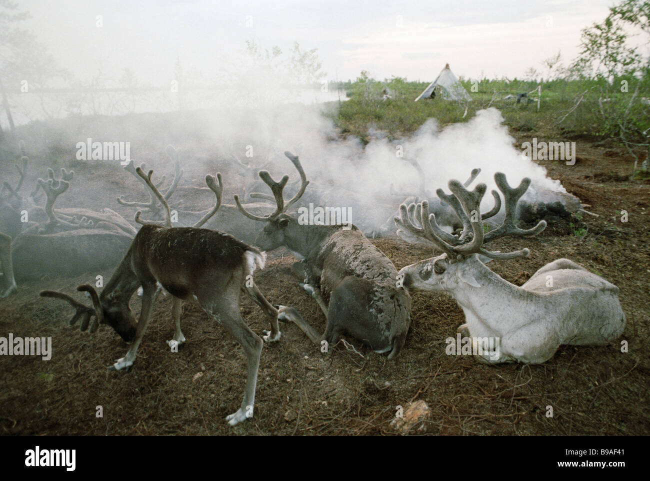 Reindeer saving from midges at a smudge - Stock Image