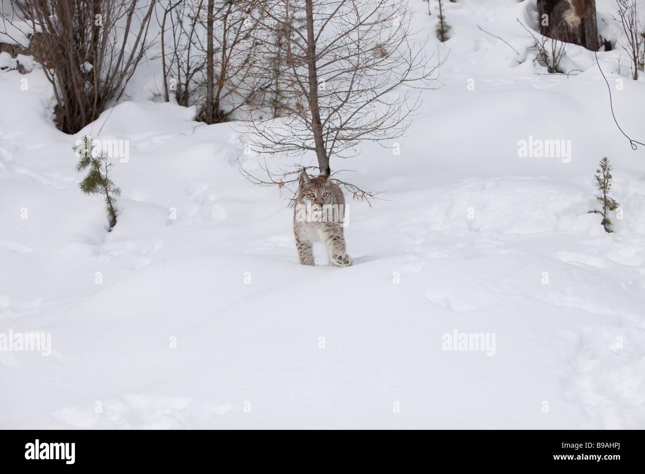 Siberian Lynx Walking Towards Prey Stock Photo