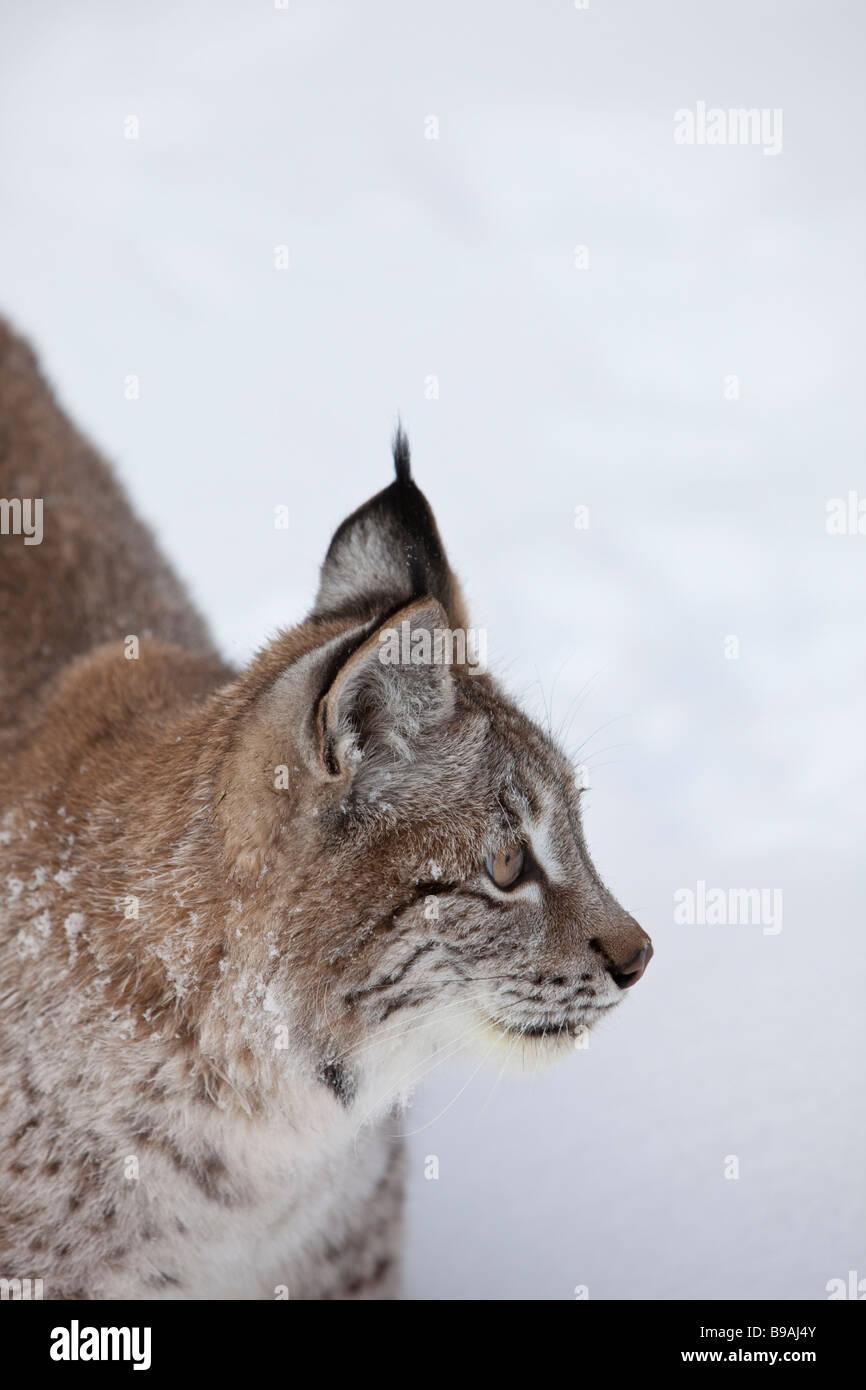 Siberian Lunx Ear Tuffs - Stock Image