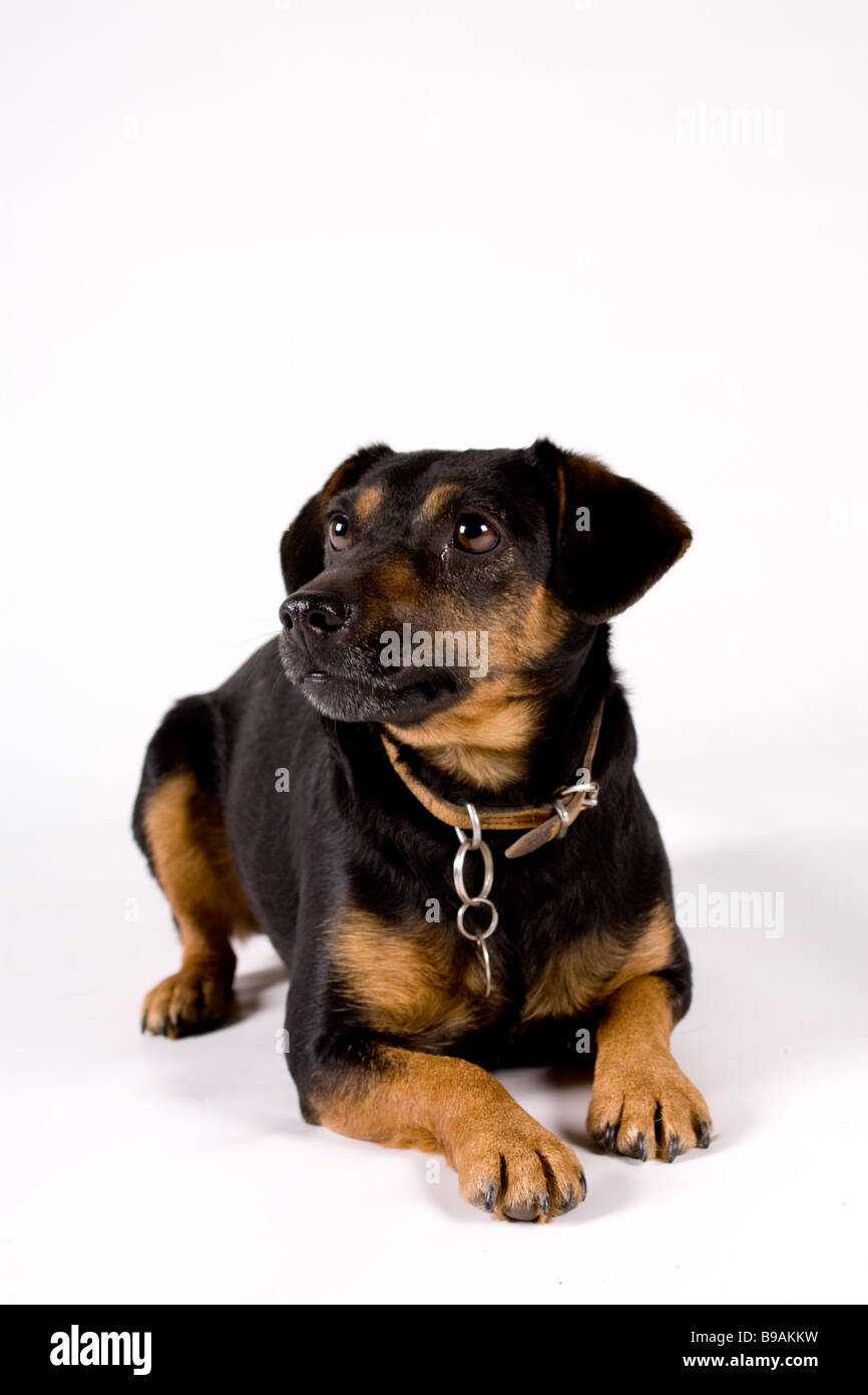 Black and Tan Terrier - Stock Image
