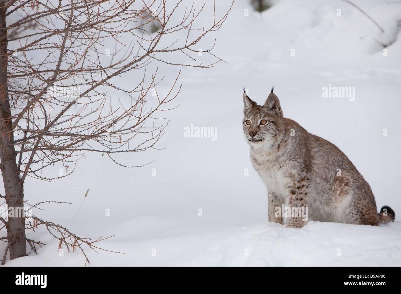 Siberian Lynx Resting on Paws - Stock Image