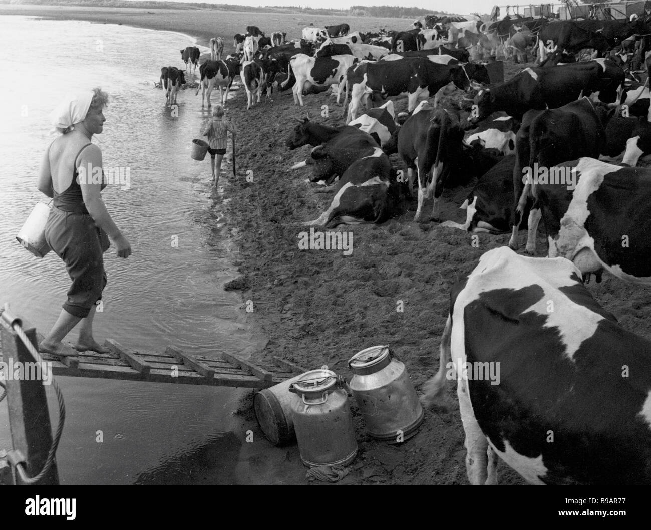 Some 14 milkmaids take care of 300 cows in the Sokolovsky state farm s field camp - Stock Image