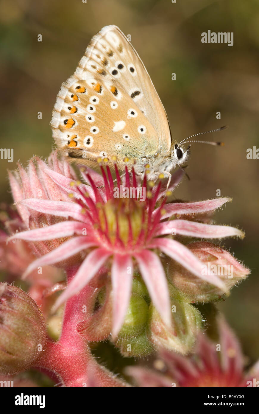 Male chalk-hill blue butterfly (Polyommatus coridon) on Mountain Houseleek (Sempervivum montanum) - Stock Image