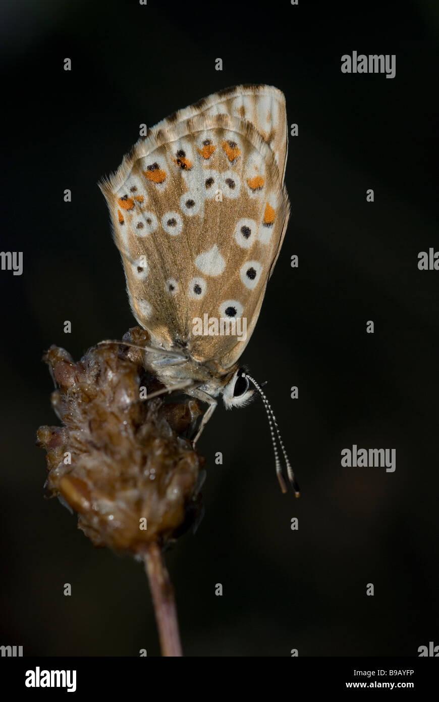 Female chalkhill blue butterfly (Polyommatus coridon) - Stock Image