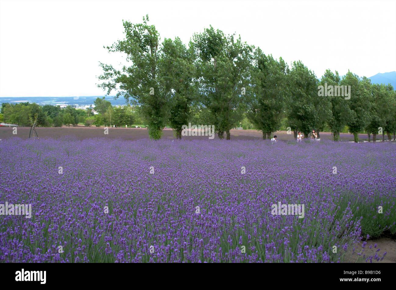 Lavenders Farm - Stock Image