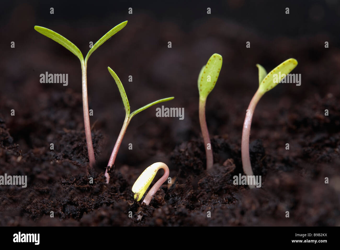 Cotyledons of 5 new marigold seedlings emerging in peat compost - Stock Image