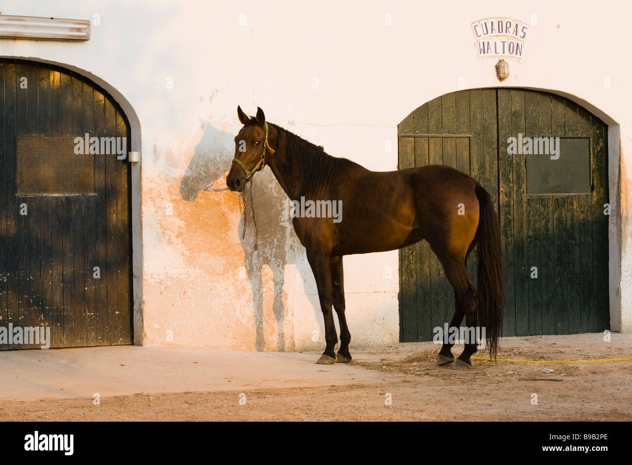 tethered horse at stables - Stock Image