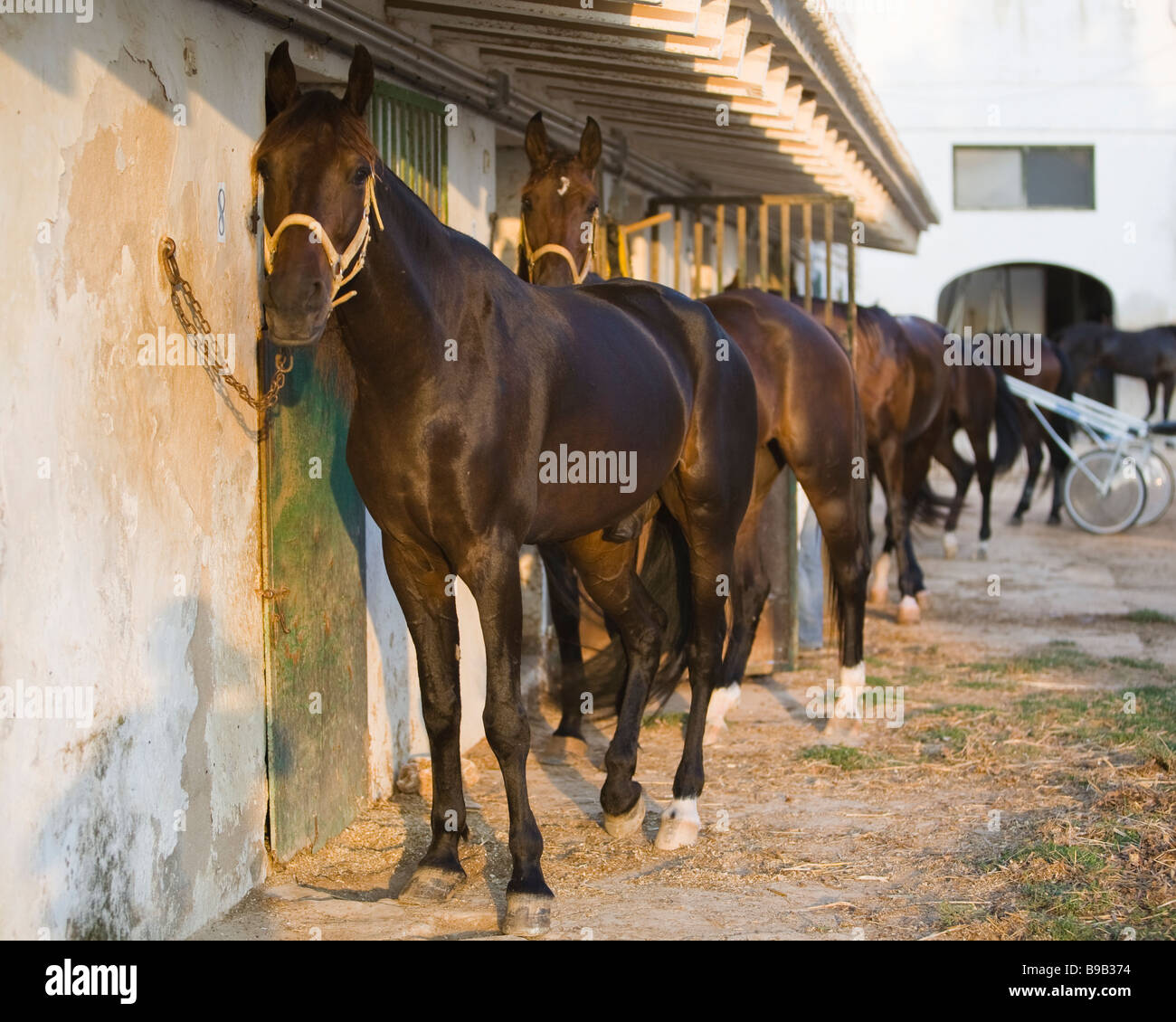 tethered horses at stables - Stock Image