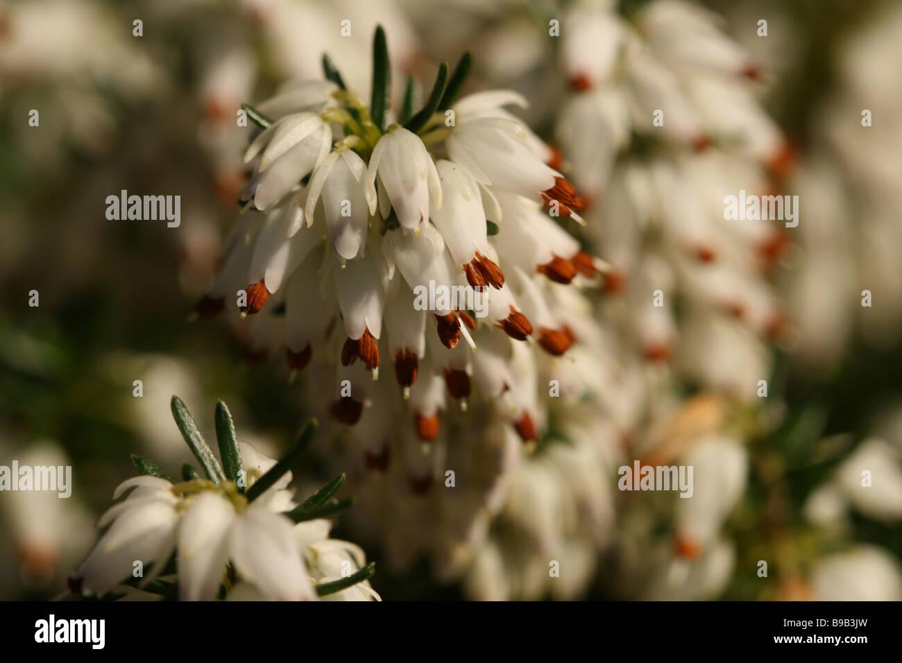 White heather flower detail stock photo 22986625 alamy white heather flower detail mightylinksfo