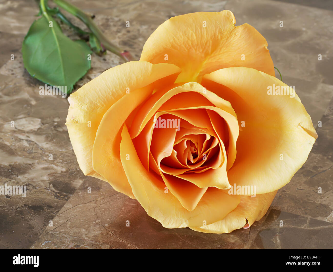 Orange rose on fancy table - Stock Image