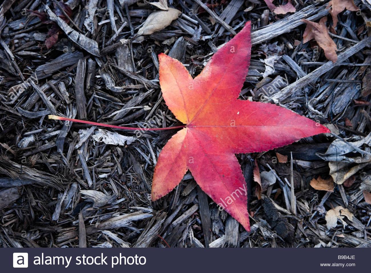 Fallen Red Leaf of Liquid Amber Glendora California - Stock Image
