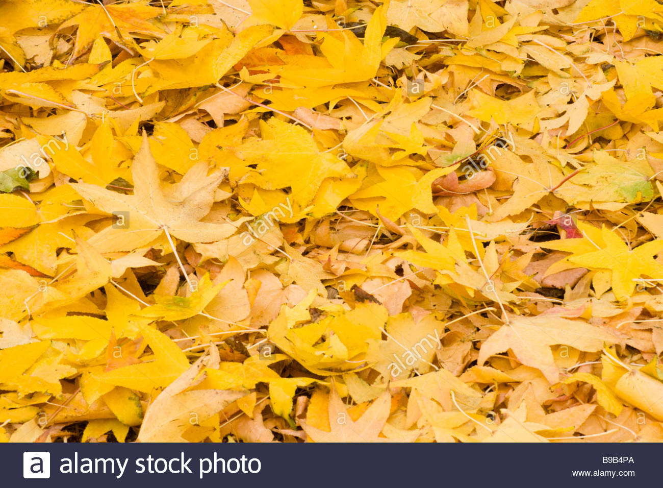 Fallen Liquid Amber Autumn Leaves Glendora California - Stock Image