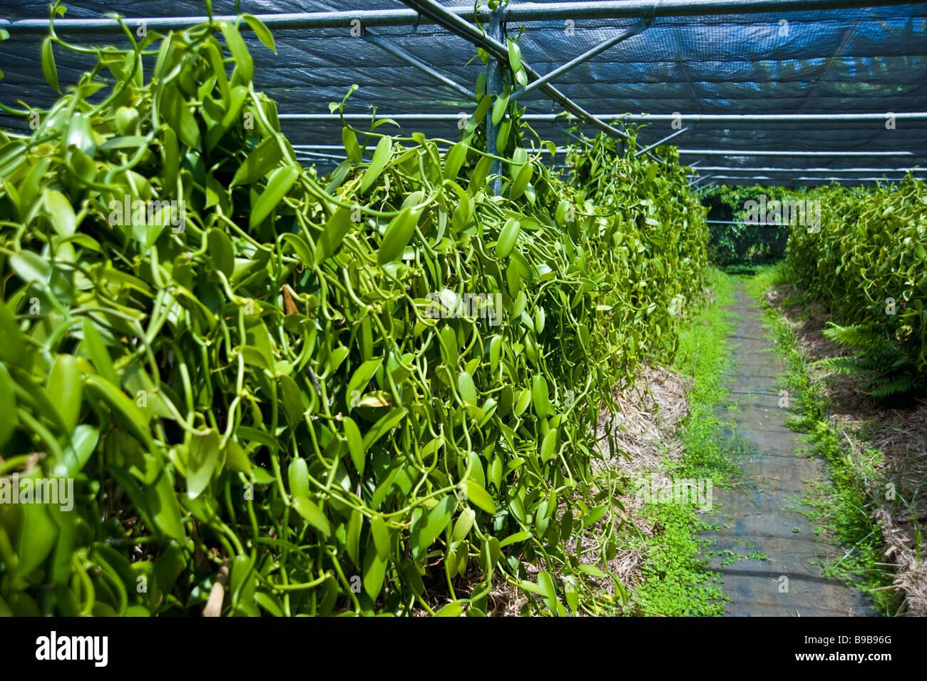 Bourbon vanilla beans on plant at vanilla farm La Réunion France | Vanille Schoten am Strauch Pflanze Stock Photo