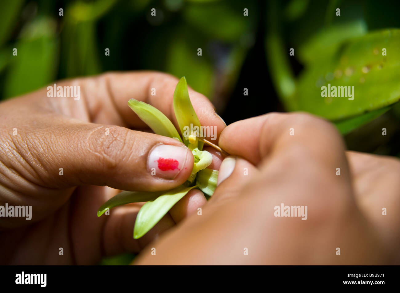 Pollenizing of Bourbon vanilla blossom at vanilla farm La Réunion France | Bestäuben von Vanilleblüten Stock Photo