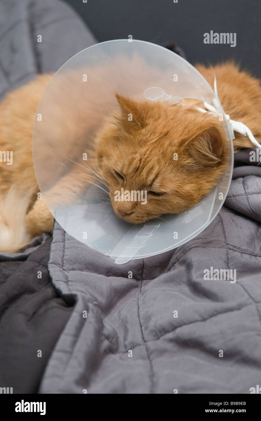 Rehab. cat with collar. - Stock Image