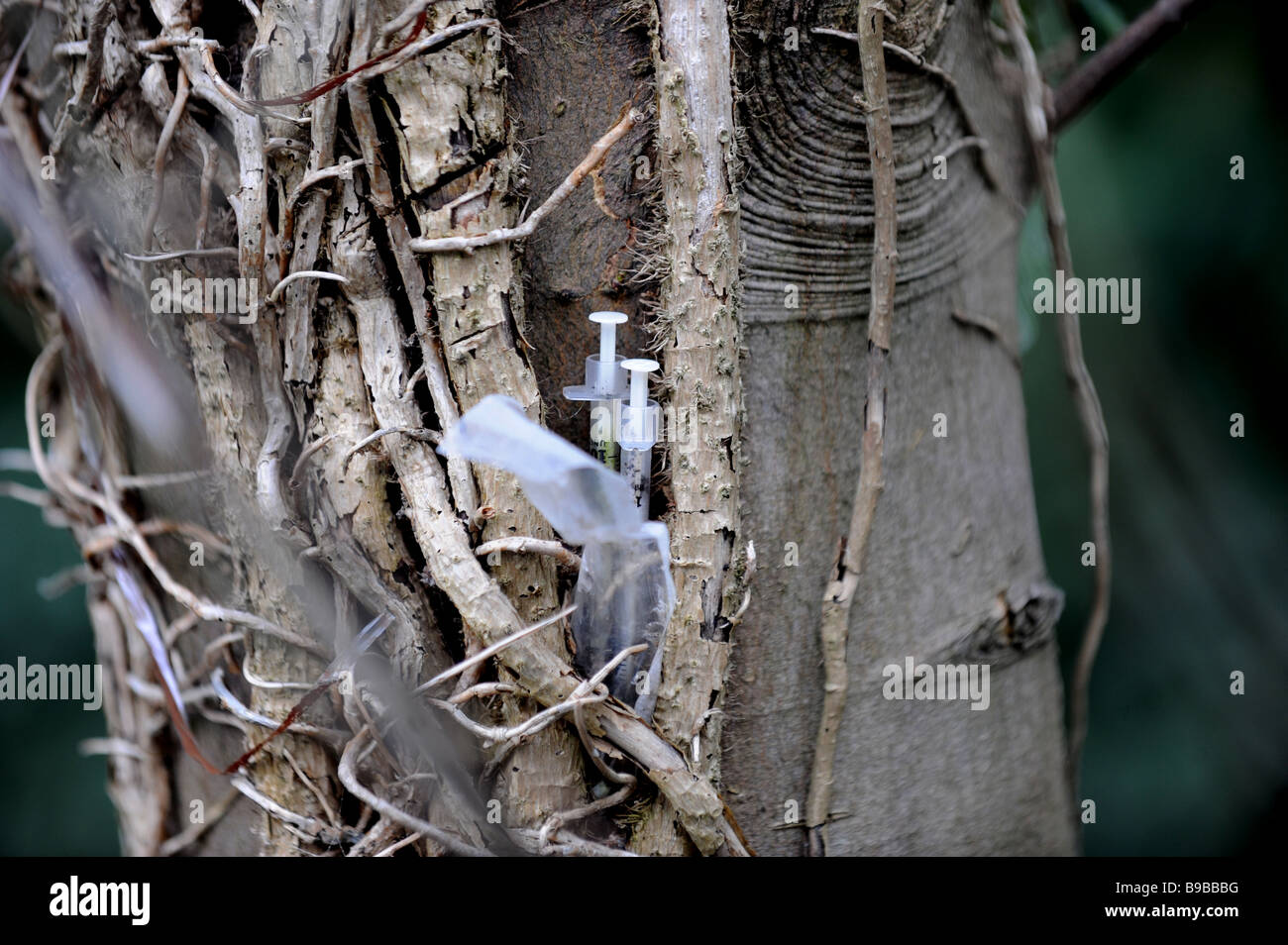 Two used hypodermic needles stuck in a tree trunk - Stock Image