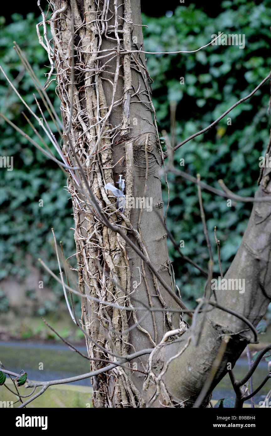 Two used hypodermic needles left stuck in a tree trunk - Stock Image