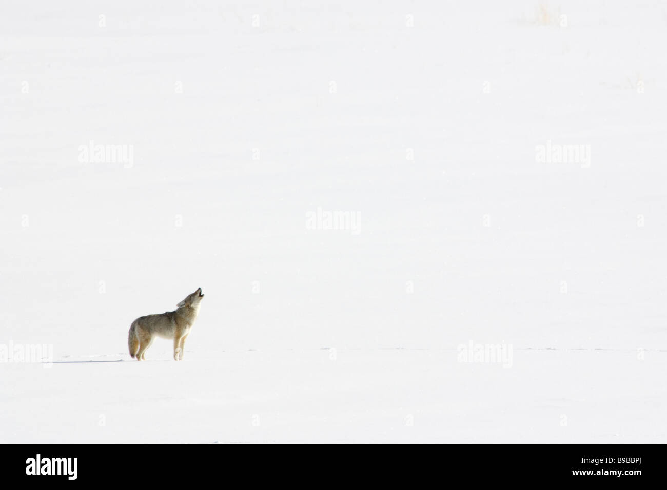 Coyote Howling Canis latrans - Stock Image