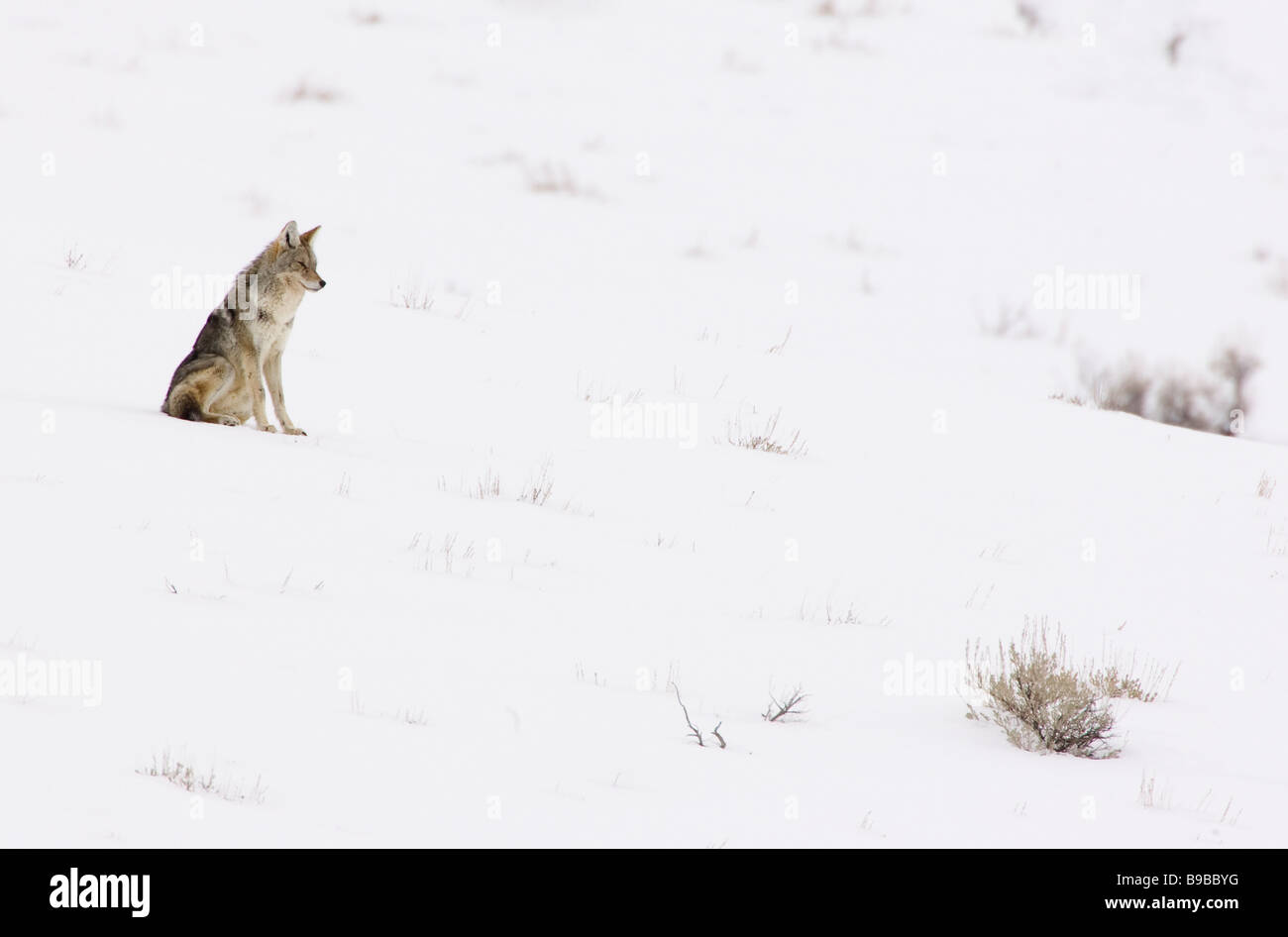 Coyote Sitting on a Snowy Hillside Canis latrans - Stock Image