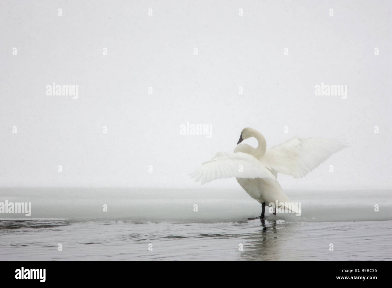 Trumpeter Swan Flapping Wings in Snow Storm Cygnus buccinator - Stock Image