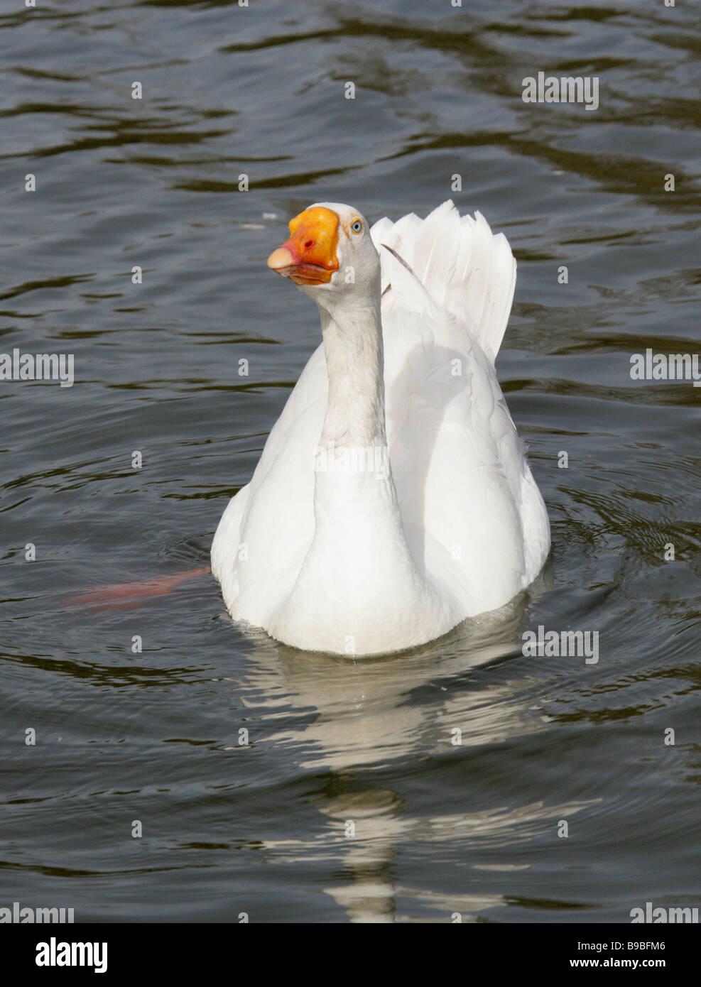 Domestic White Goose, Anatidae - Stock Image