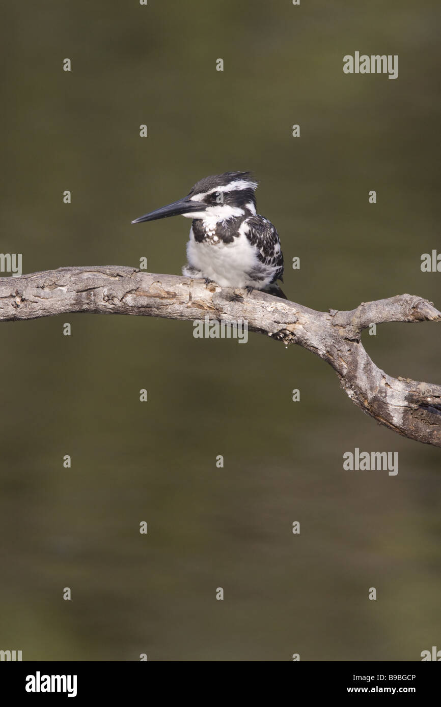 Pied Kingfisher Ceryle rudis Keoladeo Ghana National Park Bharatpur Rajasthan India BI018115 - Stock Image