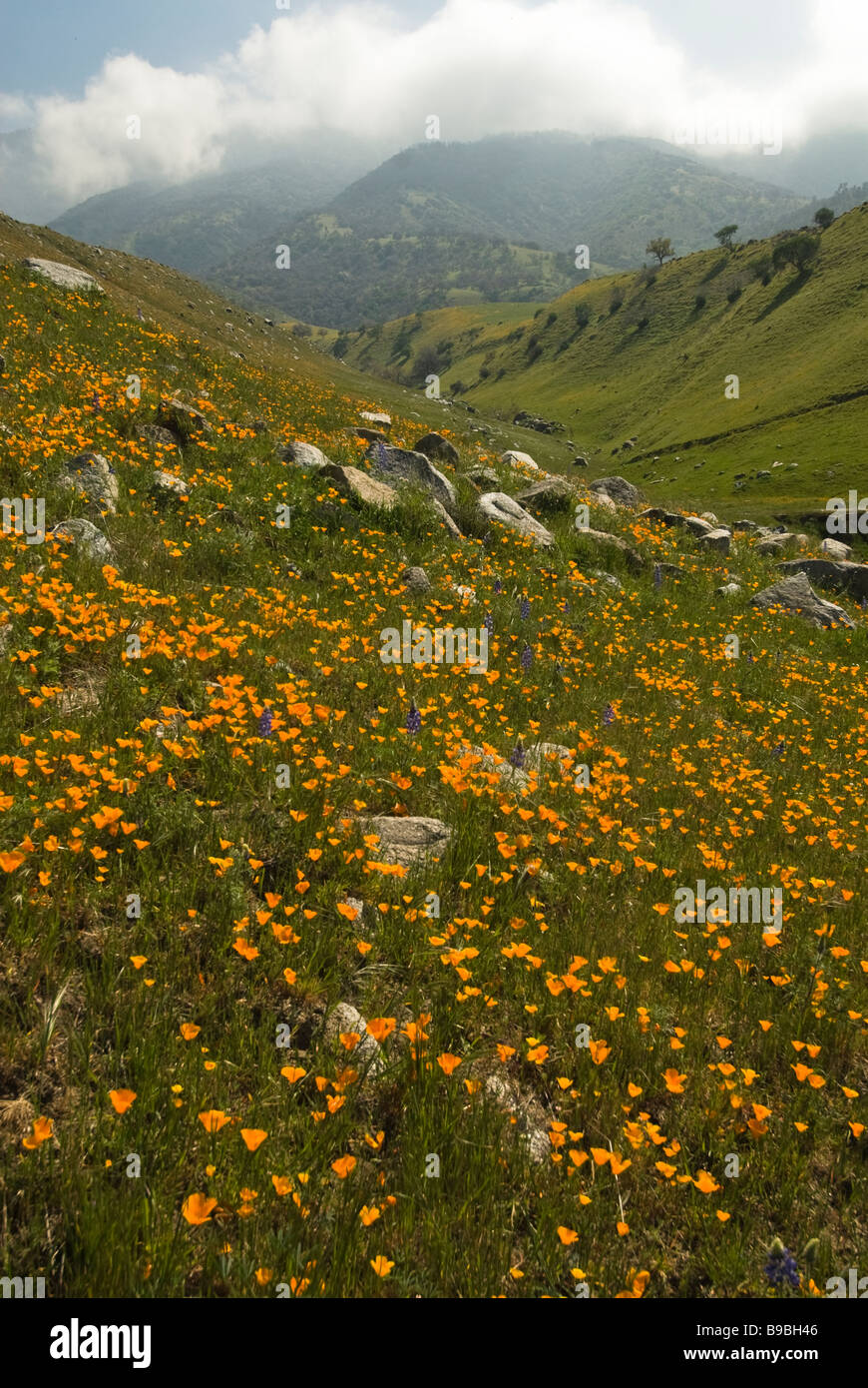 California wildflowers on hillside in Central California - Stock Image