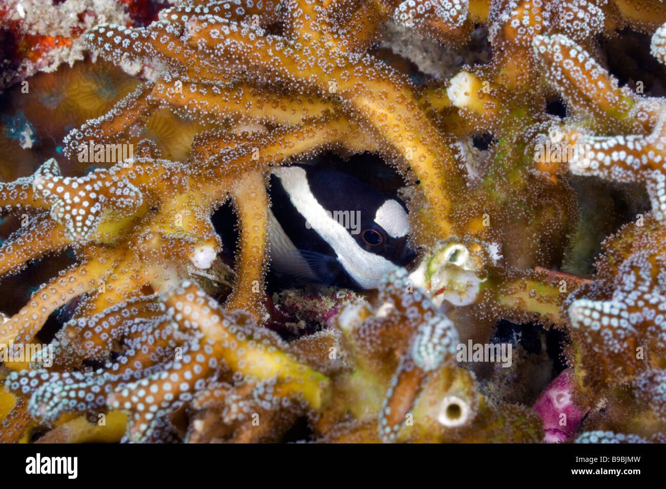 A Humbug Dascyllus damselfish peers out of his hiding place in the coral reef near Sipadan Island in The Celebes - Stock Image