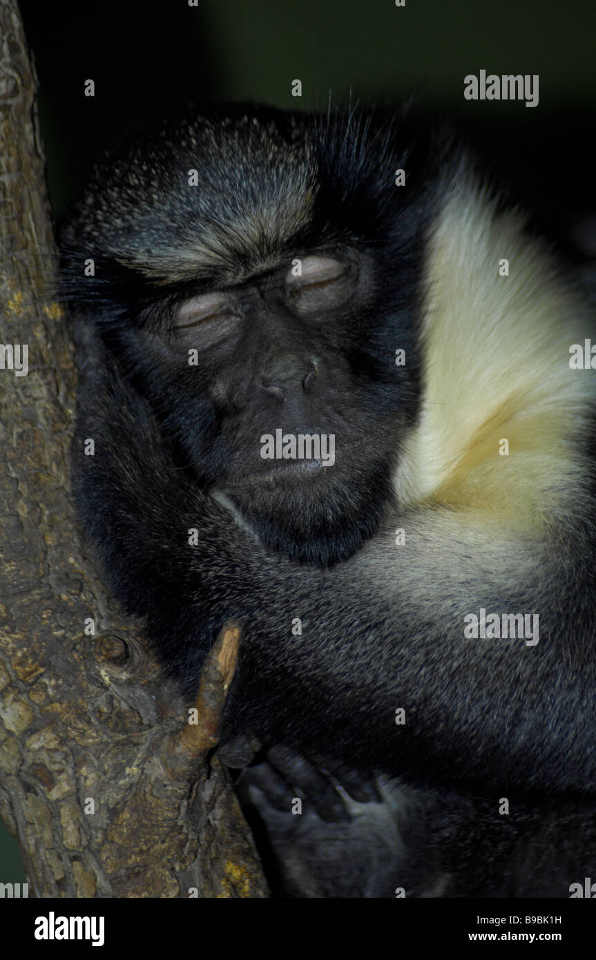 Diana monkey asleep - Stock Image