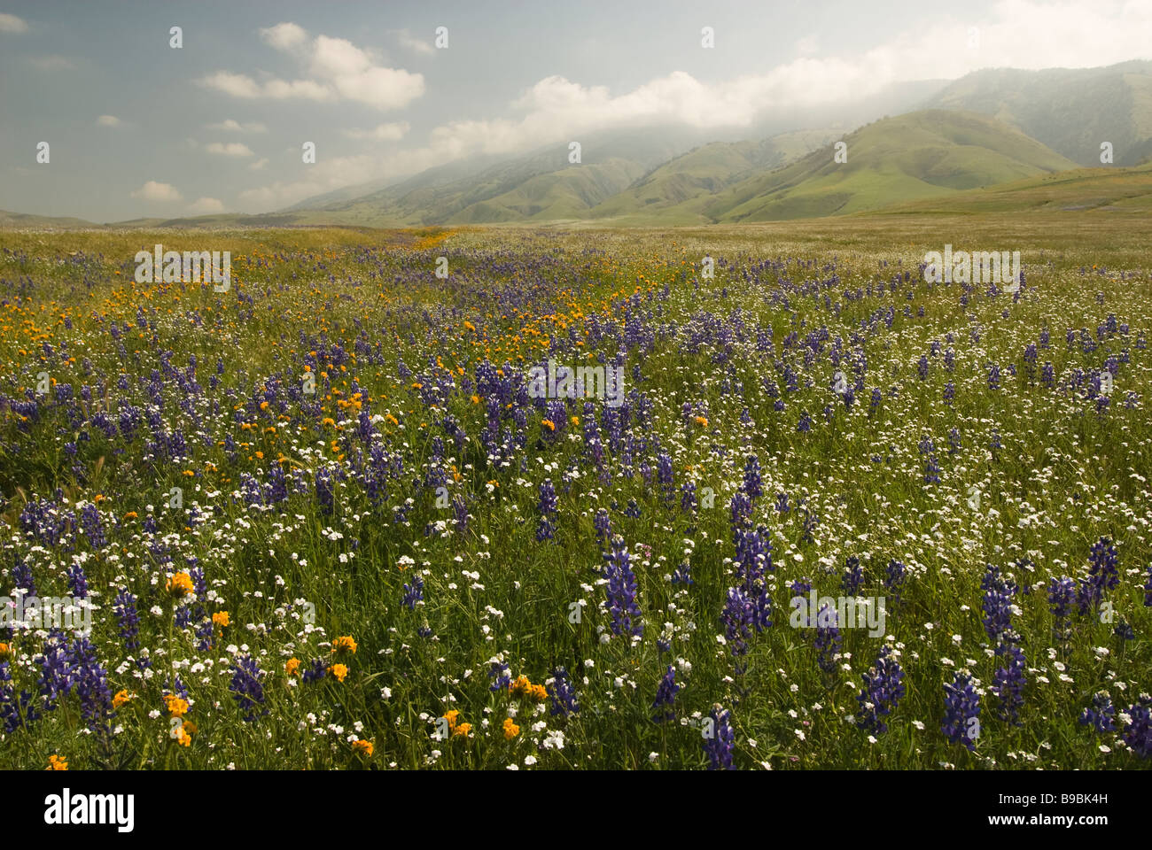 California wildflowers in Central California - Stock Image