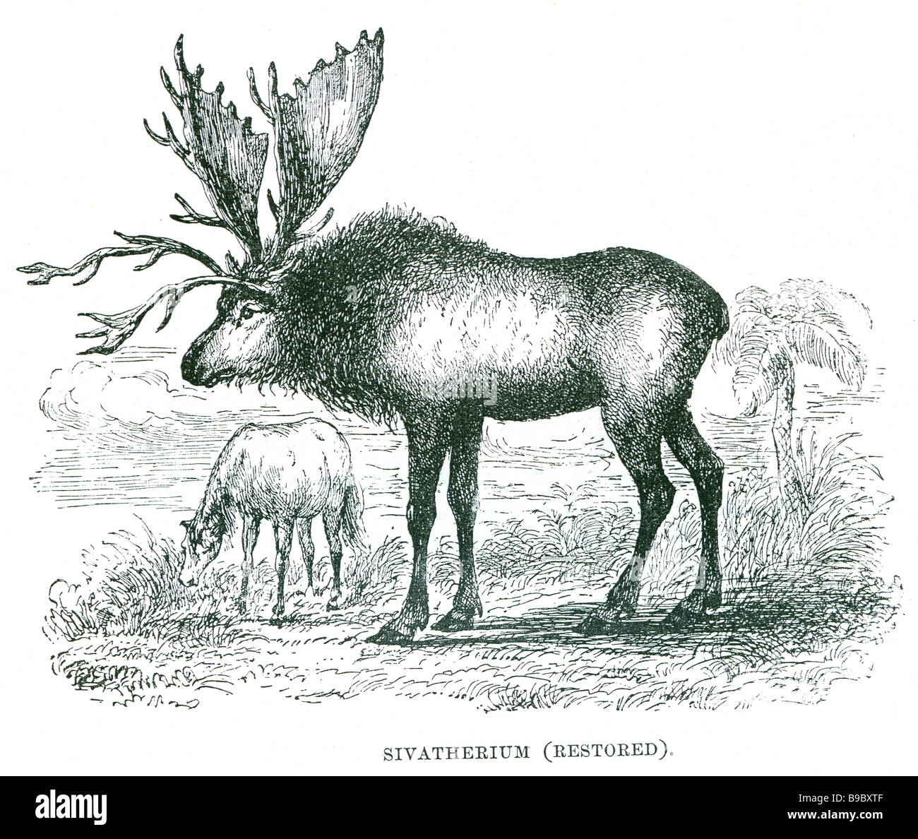 Sivatherium ('Shiva's beast)' is an extinct genus of giraffe that ranged throughout Africa to Southern - Stock Image
