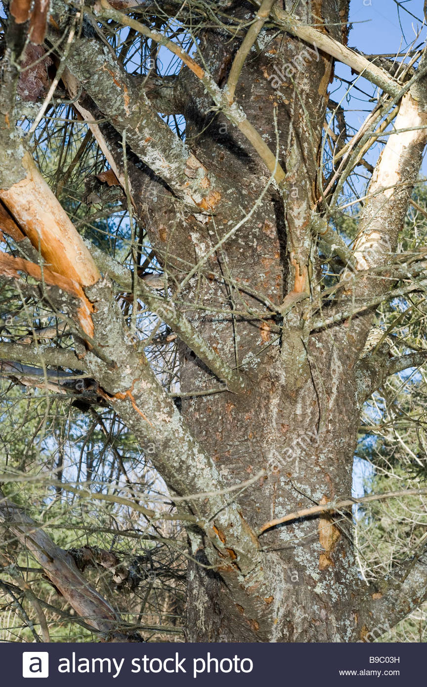 Dead Eastern White Pine tree Pinus strobus killed by borer beetles - Stock Image