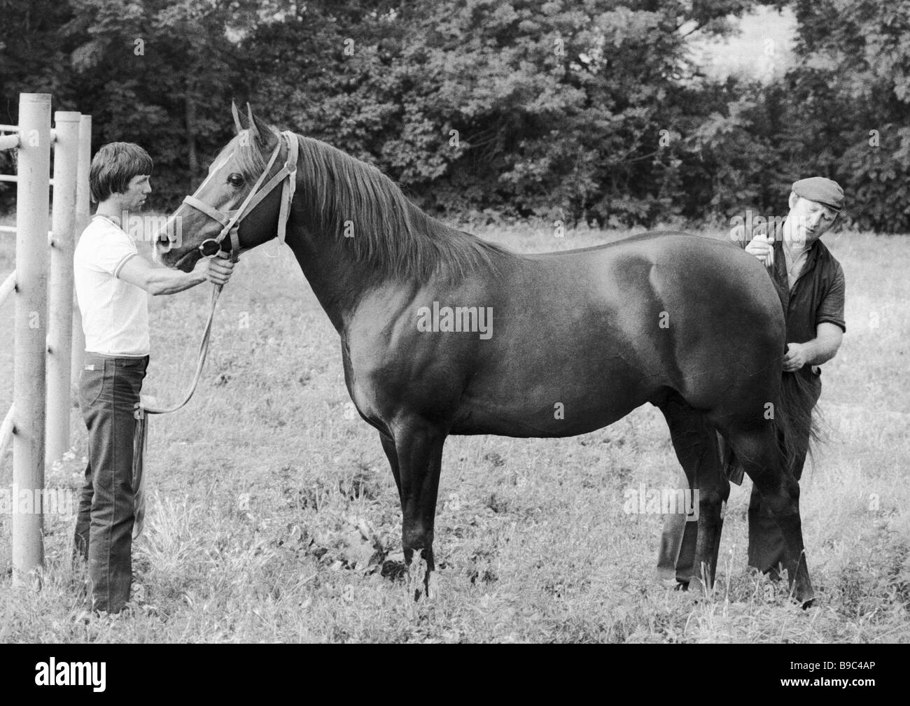 Worker of the Terek horse breeding factory combs tail of Arab stallion Stock Photo