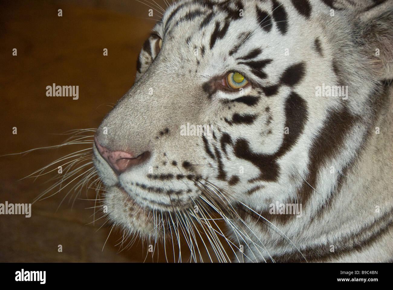 White tiger facial portrait closeup wild animal Houston Downtown Aquarium Texas tourist attraction - Stock Image