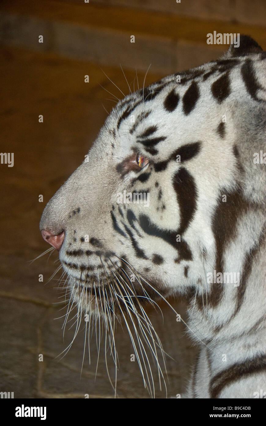 White tiger facial portrait closeup wild animal Houston Downtown Aquarium Texas - Stock Image