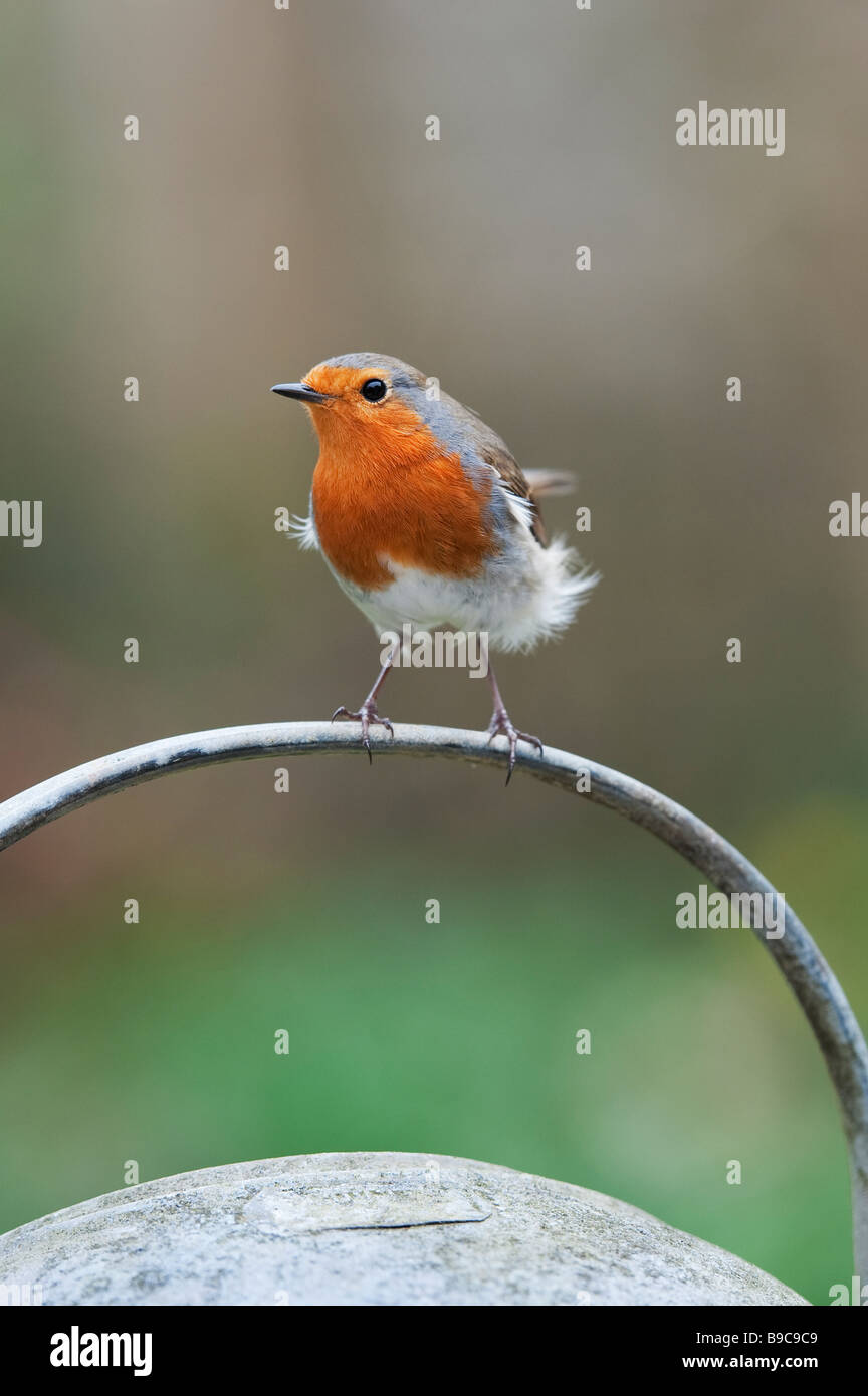 Robin perched on the handle of a metal watering can - Stock Image