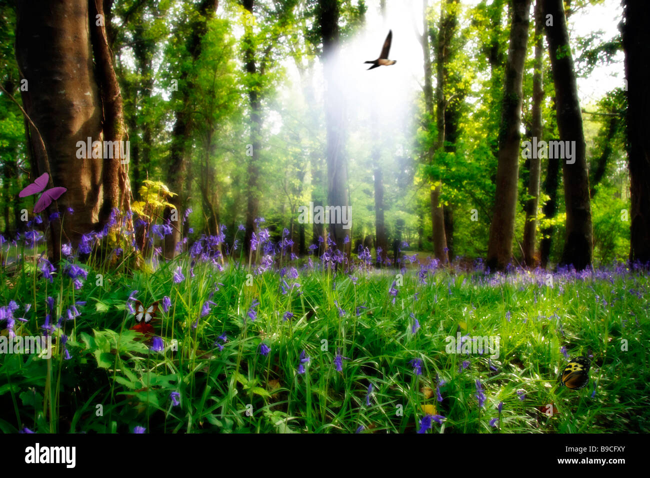 a wood full of bluebells - Stock Image