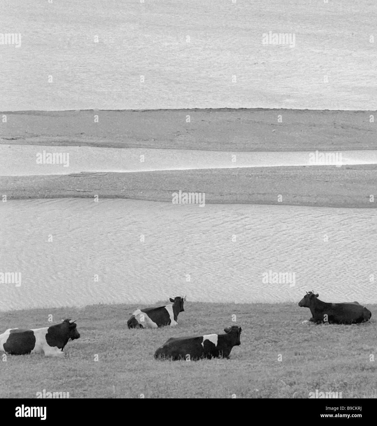 A herd of cattle pasturing on a firth shore - Stock Image
