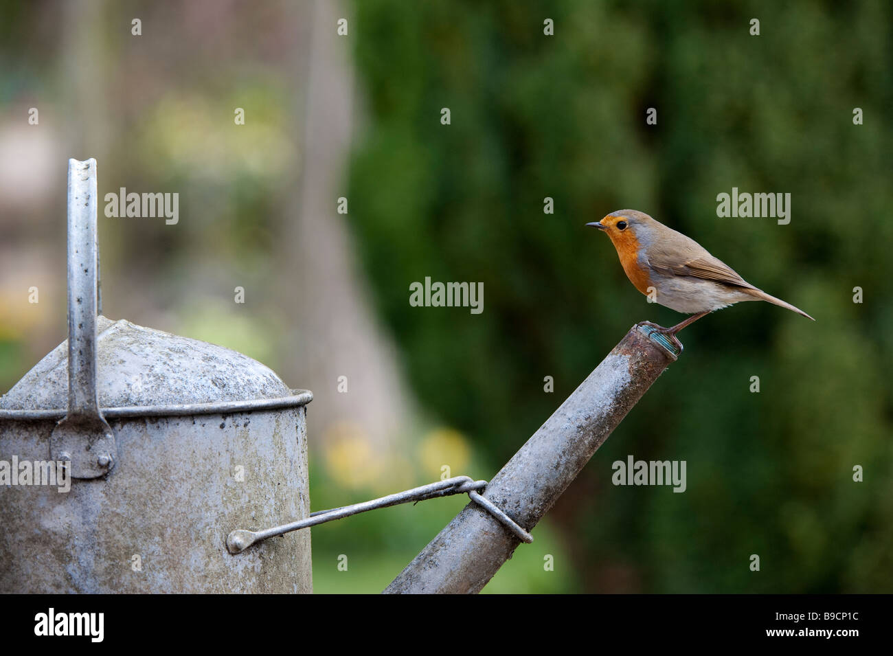 Robin perched on the spout of a metal watering can - Stock Image