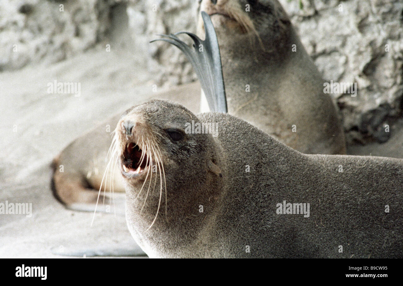 Fur seals Commander Islands - Stock Image