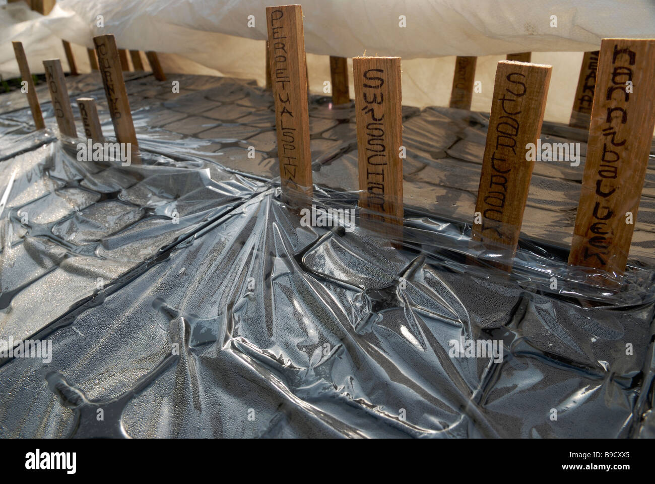 Vegetable seeds germinating under cling film and horticultural fleece - Stock Image