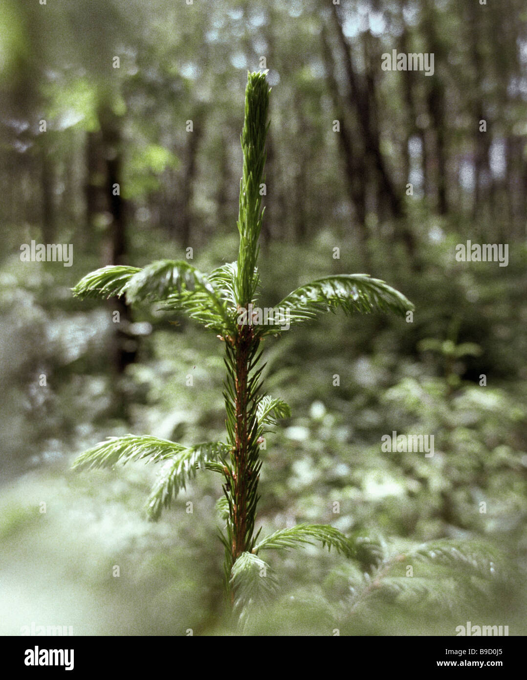 A young fir tree in the Borisovo forest preserve - Stock Image