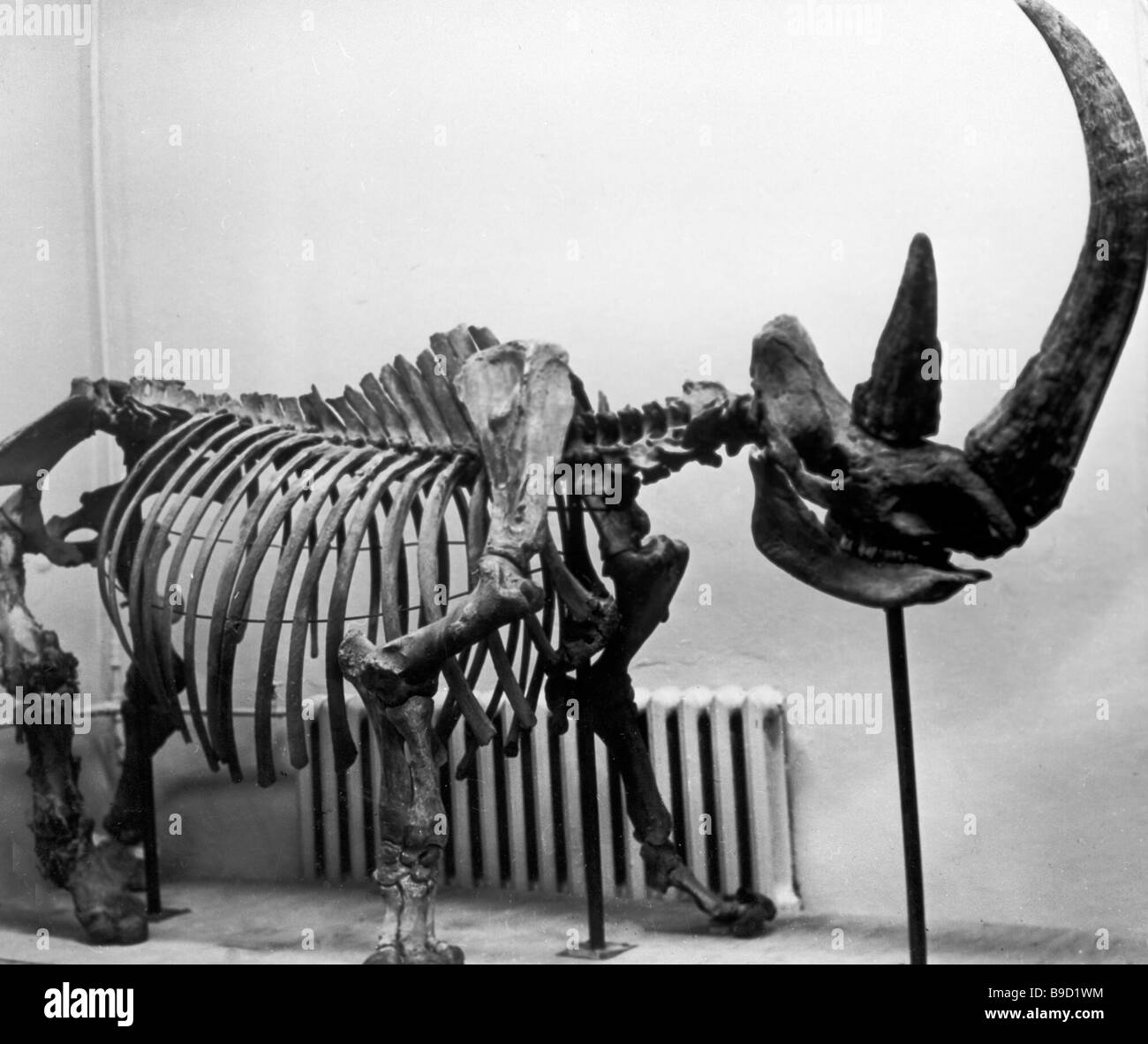 Carcass of a wooly rhinoceros the only fully preserved carcass of the mammoth s contemporary was found in the suburbs - Stock Image