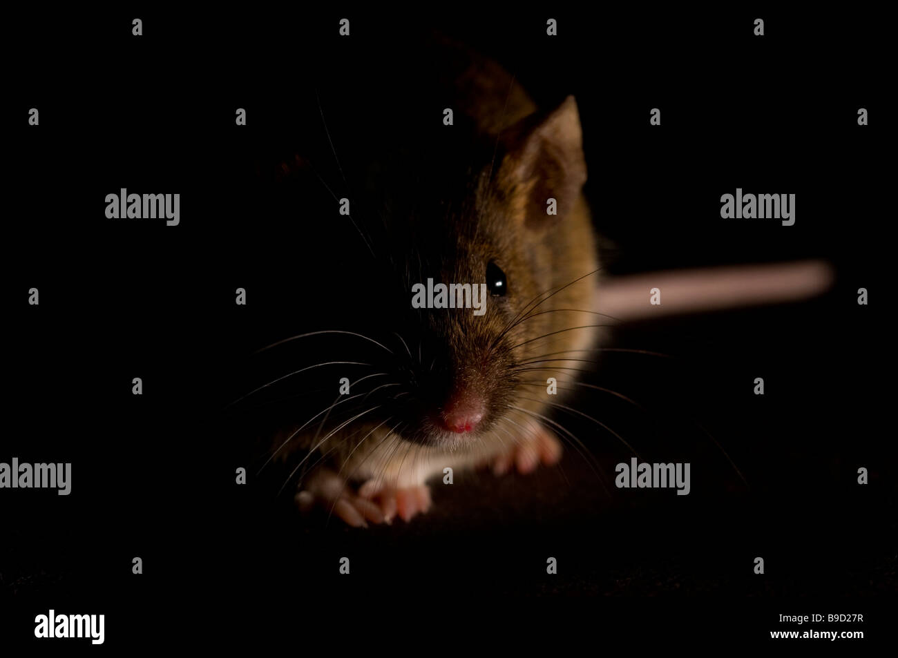 Mouse - Stock Image