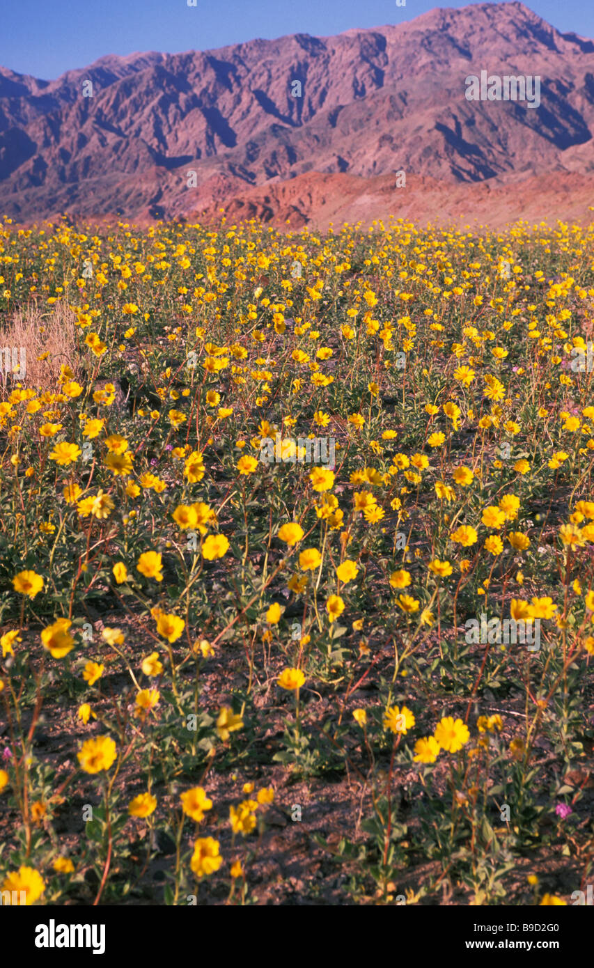 Wildflowers in california death valley ashford mill desert gold wildflowers in california death valley ashford mill desert gold flowers mightylinksfo