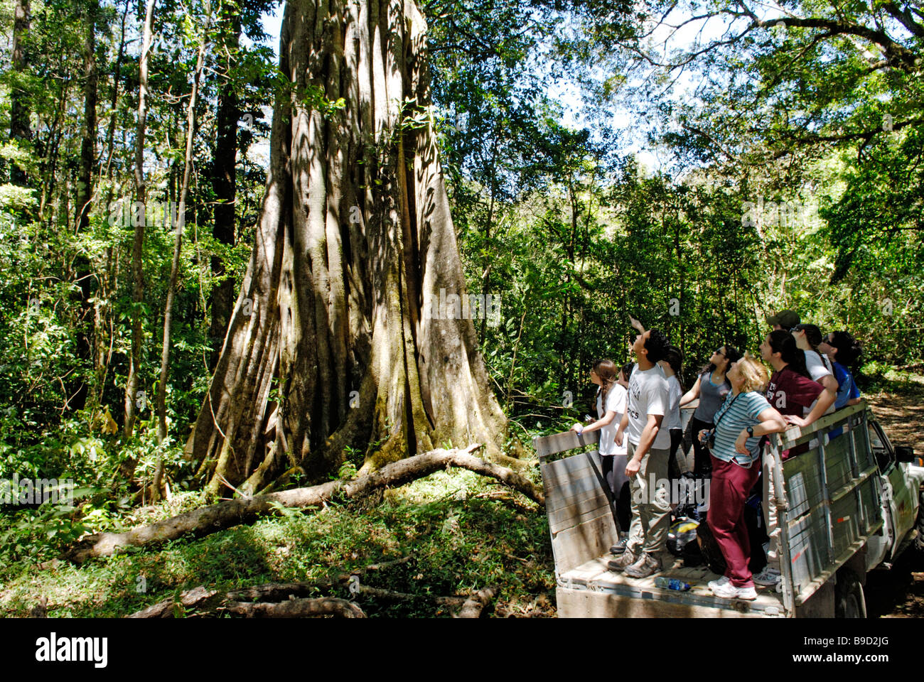 An ecotourism group looks up at giant strangler fig, Ficus aurea, La Amistad National Park, Costa Rica. - Stock Image