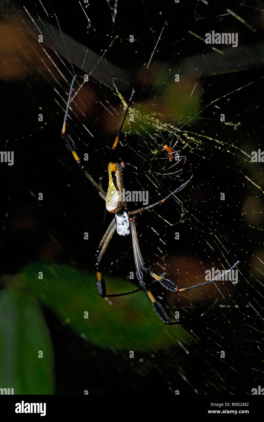 Golden orb-weaver female with male - Stock Image