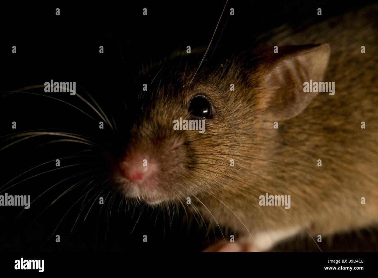 House Mouse Mus musculus - Stock Image